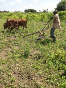 "This oxen and plough has been purchased by the Ross Namutumba Link Organisation to help the Namutumba Town Council help ""vulnerables"" set up their own business."